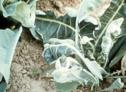 Molybdenum in Cauliflower