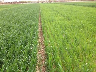 Nitrogen in wheat