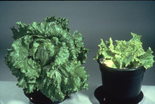 S deficiency in Lettuce