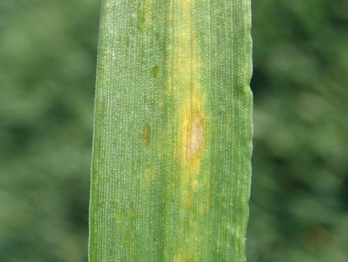 Zinc deficiency in wheat