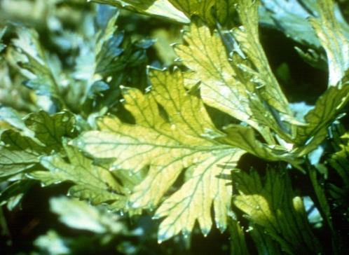 Manganese in Celery