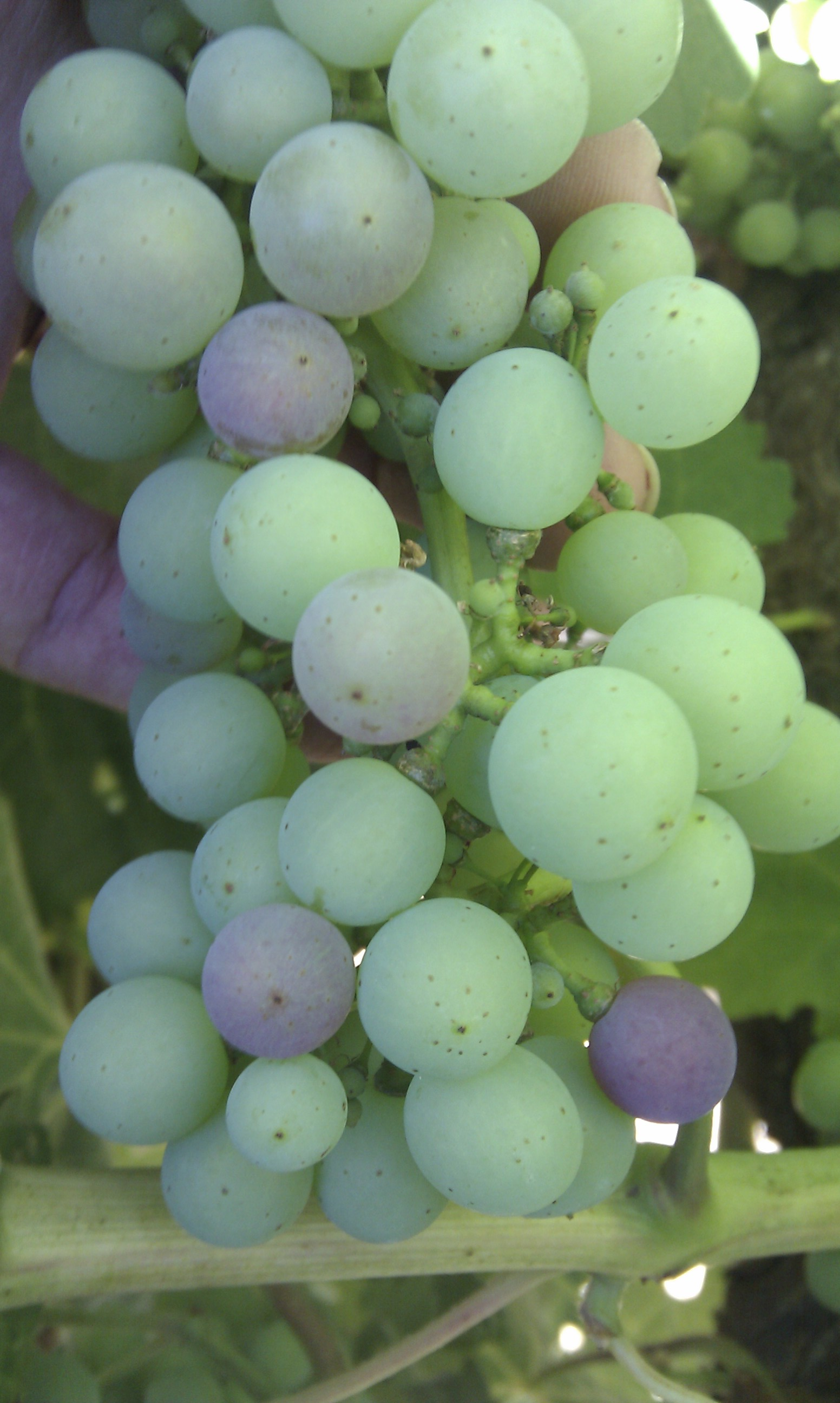 vineyard veraison